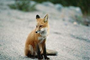 Cómo localizar una cueva de zorro