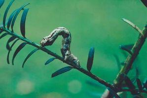 Gusanos de la pulgada están matando las hojas de los árboles de sauce