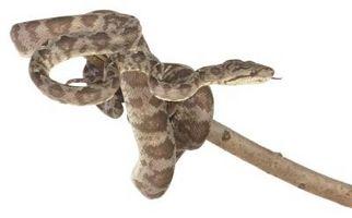 Serpientes, Georgia Oak