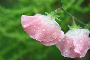 ¿Por qué las plantas de guisantes crecen más rápido con luz Artificial?