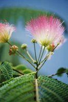 Hongo en las ramas de árbol de Mimosa