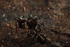 Cómo evitar que las hormigas con productos para el hogar