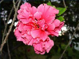 ¿Cómo plantar Hibiscus de flor doble