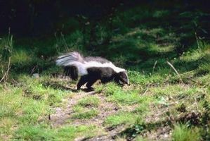 ¿Cómo deshacerse de los zorrillos en su patio con repelente de Skunk