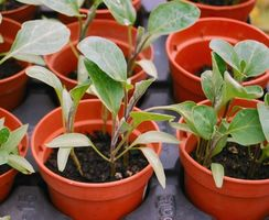 ¿Cuándo es mejor momento para sembrar plantas de flor fuera?