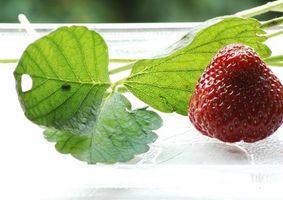 Plantas de fresa: Los síntomas de hoja