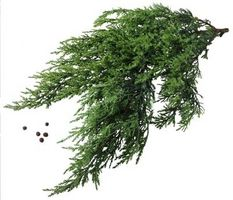 La tasa de crecimiento de un árbol de enebro