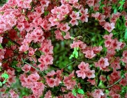 Cómo fertilizar y cuidar de una Azalea