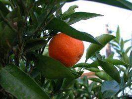 Hongos de sarna en una página de Naranjo