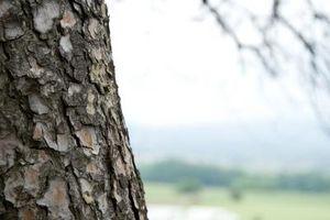 ¿Qué es este pegajoso Goo en el árbol de hoja perenne?
