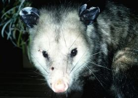 Cómo cubrir los agujeros Possum