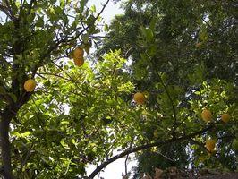 Tengo una rosa Varigated limonero que los limones pequeños cayendo de
