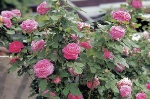 Cómo deshacerse de la rosas arbustos de ácaros