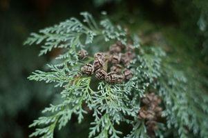 Árboles de hoja perenne y arbustos para espacios estrechos