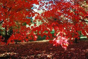 Maple árbol corteza tronco enfermedades