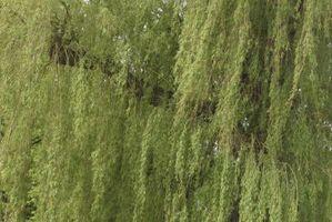 ¿Árboles de sauce llorón atraen a las hormigas?