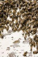 Eliminación de abejas de los árboles