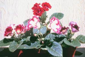 Hechos de flores de gloxinia