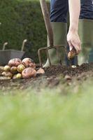 ¿Qué hacer si tienes mala Chit en patatas