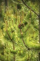 ¿Qué es laminado de pino?