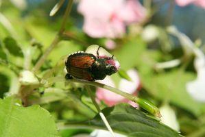 Cómo alejar escarabajos japoneses sin dañar las flores