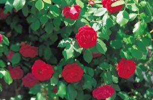 Las rosas más fragantes en zona 9