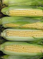 ¿Qué tan pronto después de la última helada puedo sembrar maíz?