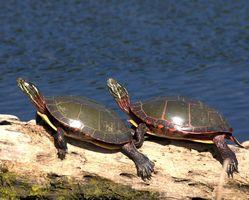 ¿Qué plantas comen las tortugas pintadas?