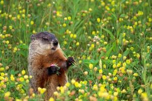 Prevención de la marmota