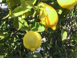 ¿Cuándo fertilizar un árbol de limón?