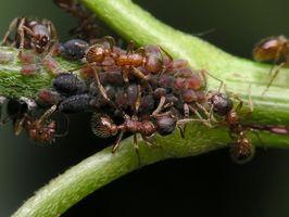 Cómo utilizar granos sobre las hormigas de fuego