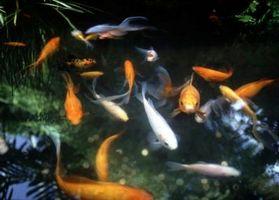 ¿Cómo obtener oxígeno en un estanque de peces