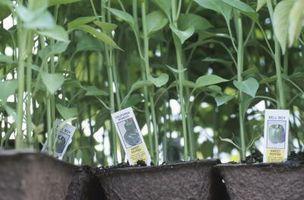 Daño de raíz de planta de pimienta