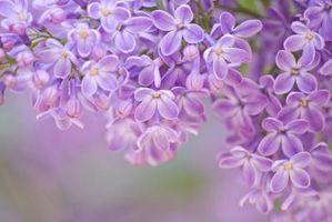 Cómo secar flores lilas