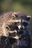 ¿Qué productos mantener mapaches fuera una yarda?