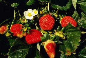 Signos y síntomas de plaguicidas en fresa