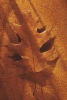 Hongo de roble y las bolas en las hojas