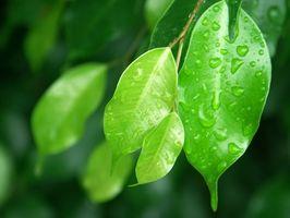 ¿Un árbol de Ficus crezca en Jacksonville?