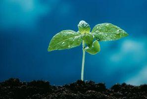 Cómo sembrar y fertilizar acebo azul