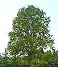 Cómo hacer árboles crecen más rápido