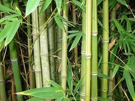 Piso de bambú sólido vs ingeniería