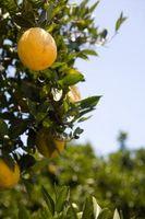 Manchas en las hojas del Naranjo