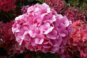 Instrucciones para el interminable verano Hortensia
