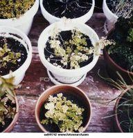 Cómo cultivar hierbas de semillas
