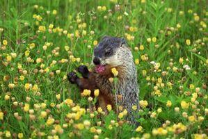 Cómo encadenar las marmotas