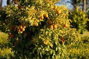 Cobre líquido en naranjos