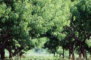 Un árbol frutal con un problema de Sap