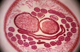 parásitos en almejas
