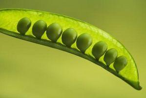 ¿De qué manera las bacterias contribuyan al éxito de un jardín en que crecen las plantas de guisante?
