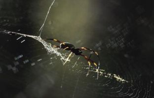 Arañas pican común